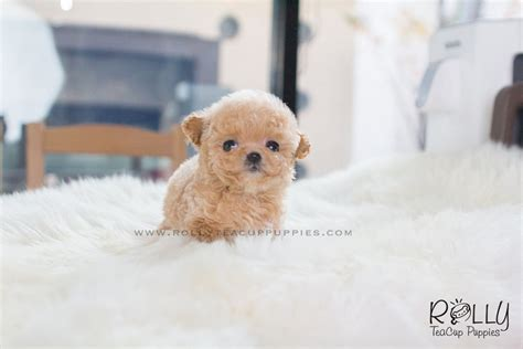 poodle puppies for sale near me amelia poodle f rolly teacup puppies