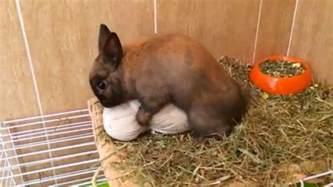conejo en celo rabbit in heat youtube