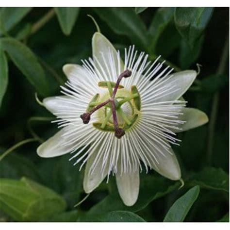 passion flower constance elliott climber