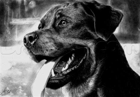 how to a rottweiler how to draw a realistic rottweiler step by step pets animals free drawing