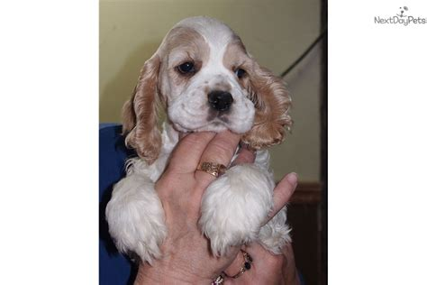 puppies for sale milwaukee wi cocker spaniel puppy for sale near milwaukee wisconsin