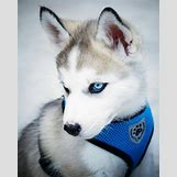 Cute Husky In Snow | 736 x 920 jpeg 73kB