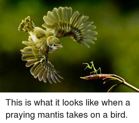 this is what it will look like when new orleans new york this is what it looks like when a praying mantis takes on