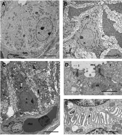 functional and morphological plasticity of crocodile