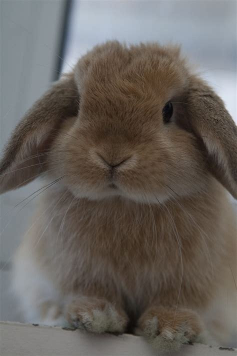 miniature lop wikipedia