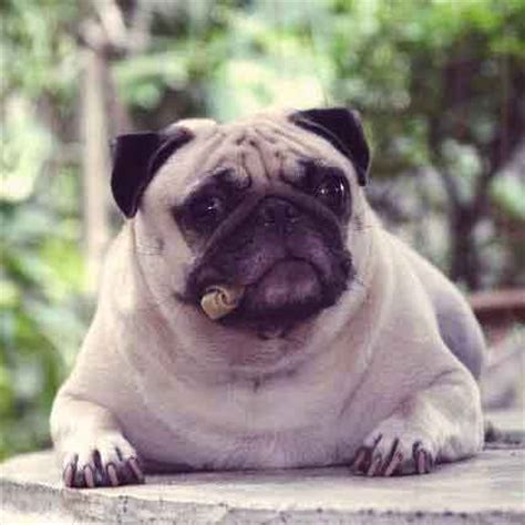 low maintenance small dogs breeds low maintenance breeds small teacup breeds best breeds