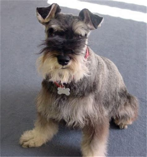 cuanto sale un chow chow schnauzer puppies images puppies pictures online