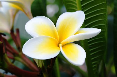 Bunga Bali Kembang Matahari gambar bunga kamboja pernik dunia