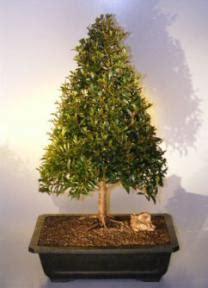 how do you bonsai christmas tree flowering brush cherry tree style eugenia myrtifolia