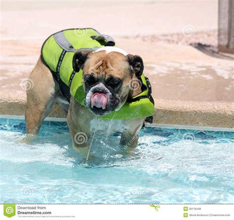 zwemvest bulldog bulldog in the pool in a swim vest royalty free stock