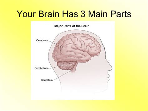 three main sections of the brain parts of the brain ppt video online download