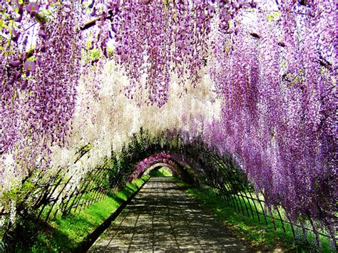 wisteria flower tunnel in japan cheechow wisteria tunnel at kawachi fuji gardens