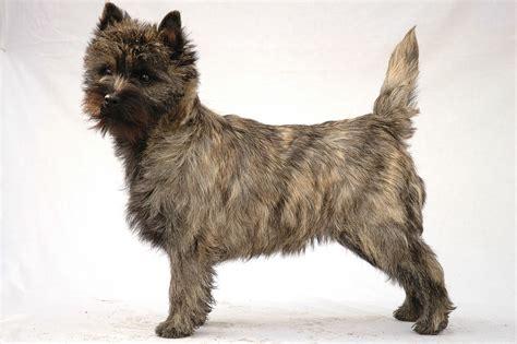 Cairn  Ee  Terrier Ee   Wikipedia