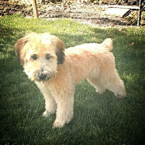 wheaten terrier short hsir cut best ideas about wheaten terrier love terrier 5 and