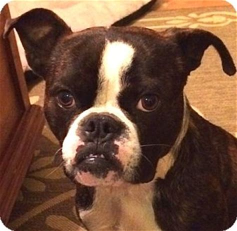 boxer boston terrier mix puppies adopted augusta sc boston terrier boxer mix