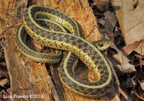 Garter Snake Ky Common Gartersnake Thamnophis Sirtalis Kentucky Snake