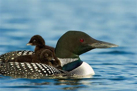 loon pictures