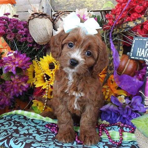 cavapoo puppies breeders best 25 cavapoo puppies for sale ideas on cavapoo for sale spaniels for