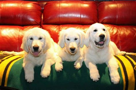 golden retriever puppies in medford oregon golden retrievers breeders puppies