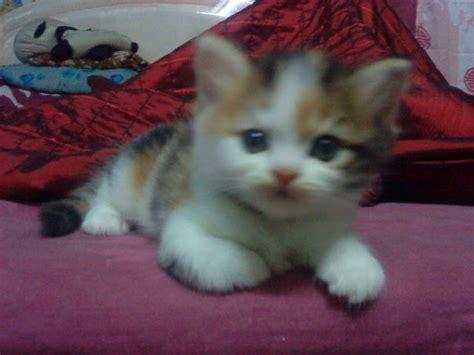 Hair Dryer Untuk Kucing catlover 5 anak kucing untuk dijual