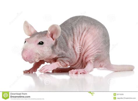 Sphynx Rat On A White Background Stock Image   Image of