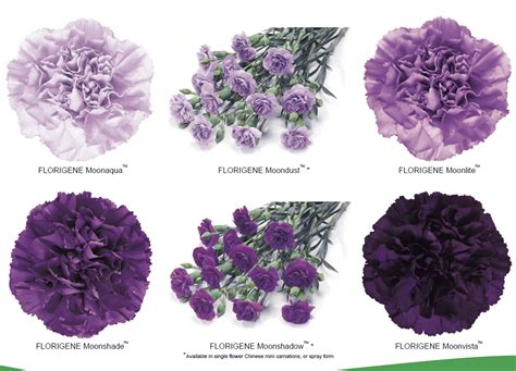 types of purple types of purple carnations ehow