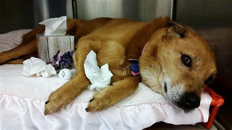 puppy flu canine influenza beechmont pet hospital