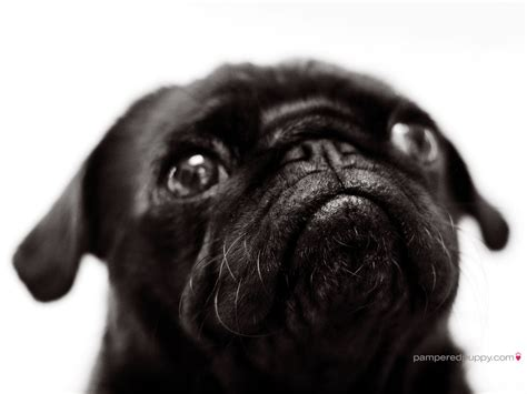 pugs on pugs on pugs beautiful pug pugs wallpaper 13728030 fanpop