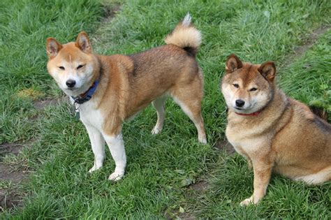 shiba inu puppy rescue contact us japanese shiba inu rescue uk