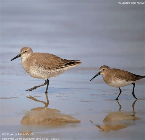 hunting digital plumes in the us and beyond shorebirds of