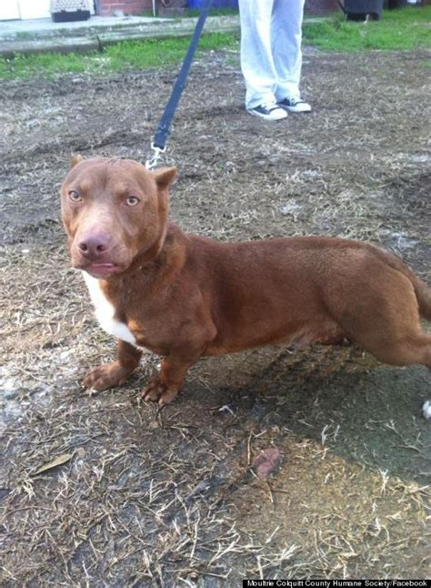 pitbull weiner mix this adorably pit bull dachshund mix is real and basically means unicorns