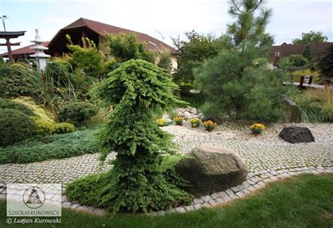 Backyard Small Juniperus Procumbens Nana Juniper Nana Japanese