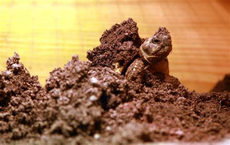 alimentazione tartaruga terrestre tutto sul letargo delle tartarughe terrestri
