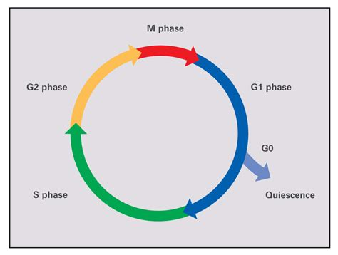 cell cycle diagram to label 301 moved permanently