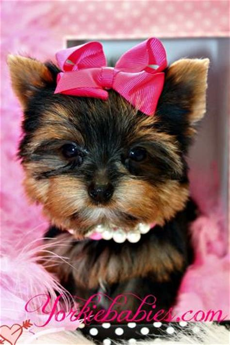 teacup yorkies for sell baby teacup yorkie puppies for sale baby teacup yorkies for sale teacup