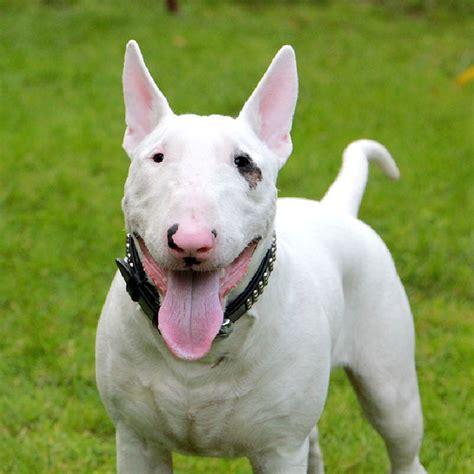 bull terrier canine breeds bull terrier