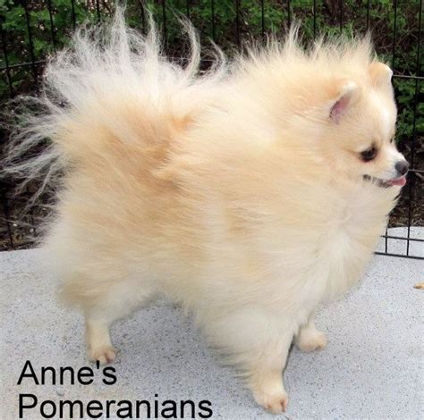colors of pomeranians pomeranian colors chart search pomeranians