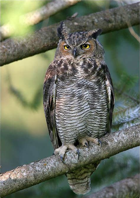 great horned owls of the niagara region