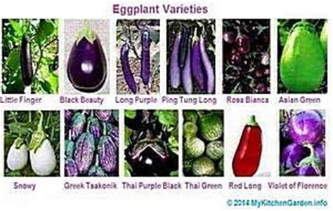 growing eggplant: how to plant, harvest and care