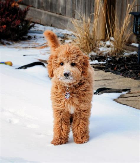 mini goldendoodle 17 best ideas about mini goldendoodle breeders on
