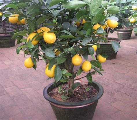 fruit trees for sale in michigan fruit trees fruit trees usa seed store fruit trees