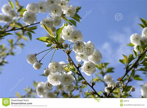 small white tree blossoms royalty free stock image image