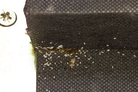 pictures of bed bug eggs bed bugs eggs and feces clipartsgram com