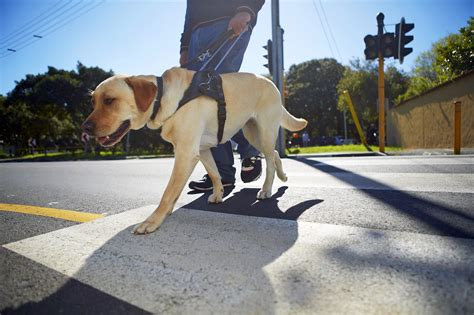 how between puppies coddled puppies make poor guide dogs study suggests kera news