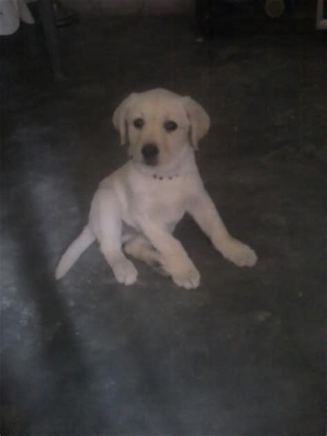 labra puppy labra for sell for sale in bahadurgarh haryana classified indialisted
