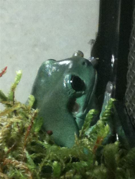 Bjeff Frog Handmade 140 best images about pet frogs on crested