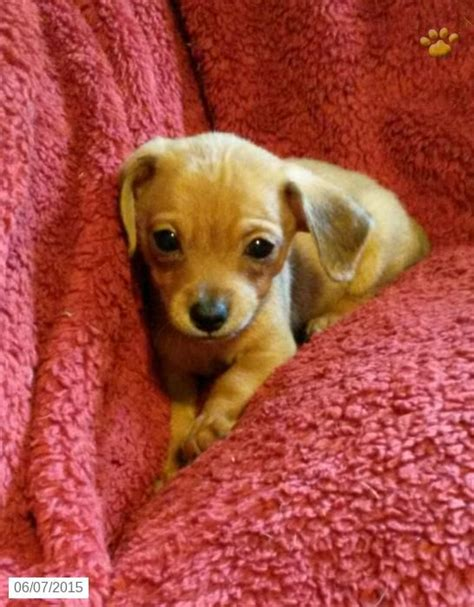 chiweenie puppies for sale in ohio chiweenie puppy for sale in pennsylvania puppies i want puppys