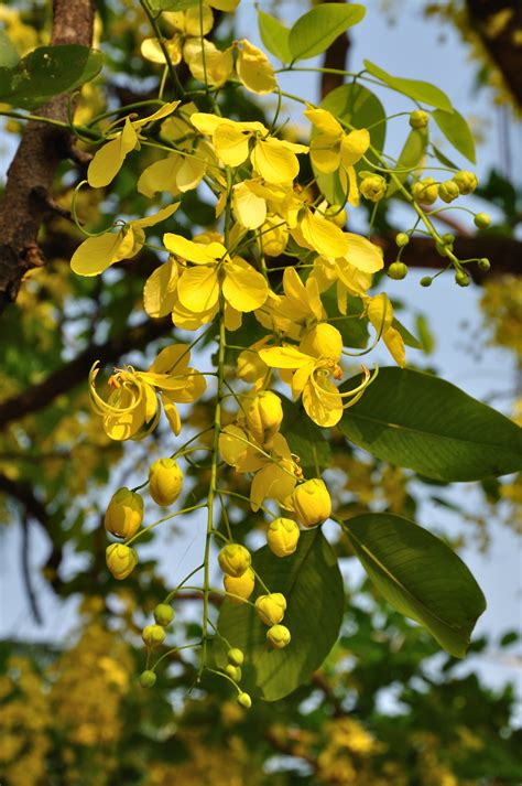 Garden Water Falls - buy cassia fistula yellow amaltas ornamental plants seeds online at best prices in india