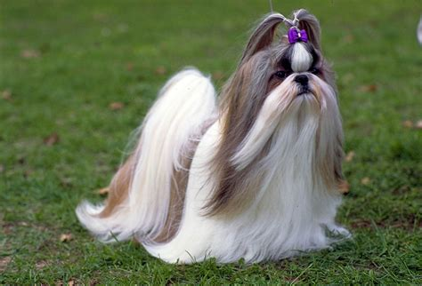 shih tzu height shih tzu photo and wallpaper beautiful shih tzu pictures