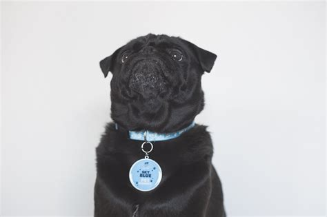 collars for pugs the importance of id tags collars for pugs the pug diary